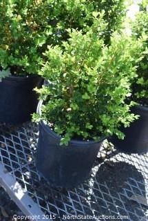 Misc Lot of Shrubs